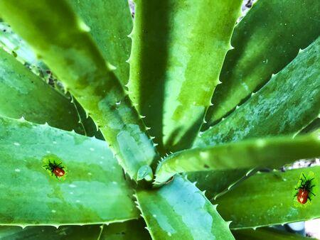 Aloe plant with ladybugs around Stock Photo