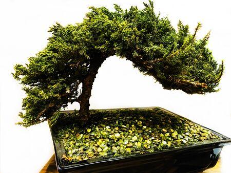 Tree bonsai plant isolated background Stock Photo