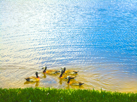 Group of ducks on lake