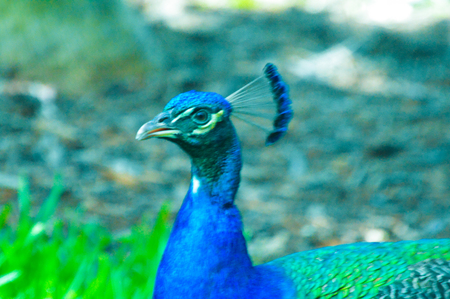 Peacock close up beautiful bird picture