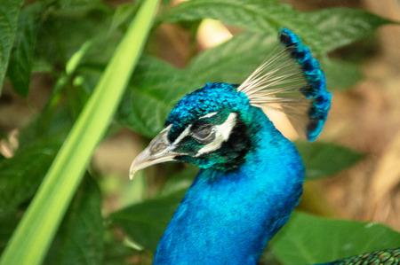 Beautiful head pheasant or peacock in vivid colors