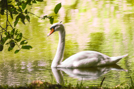 Swam in the wild lake beautiful picture ready to frame Stock Photo