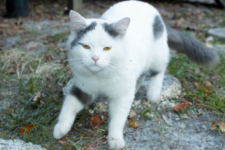 Male cat white with black spots Stock Photo