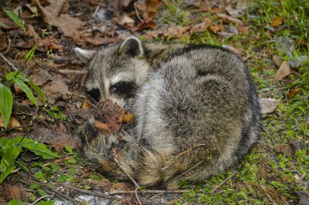 Racoon sick in the garden picture image background