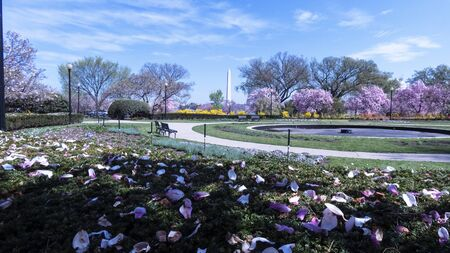 Cherry blossom and Washington Monument in Washington D.C. National Mall.