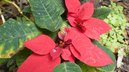 Poinsettia flower Christmas holiday symbol