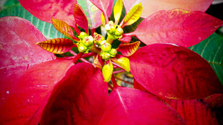 Christmas flower Red poinsettia close up flourishes background template picture photography Stock Photo