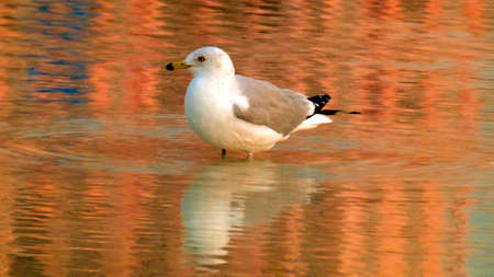 Seagull on sunset water close up image in Clearwater Beach Tampa Florida background template