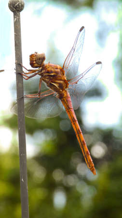 Beautiful Dragonfly close up on green background picture