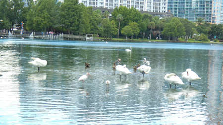 White Swans relaxing on Lake Eola Park Orlando Florida Picture Image Background Template