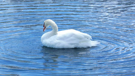 White Swan swimming on Lake Eola Park Orlando Florida Picture Image Background Template