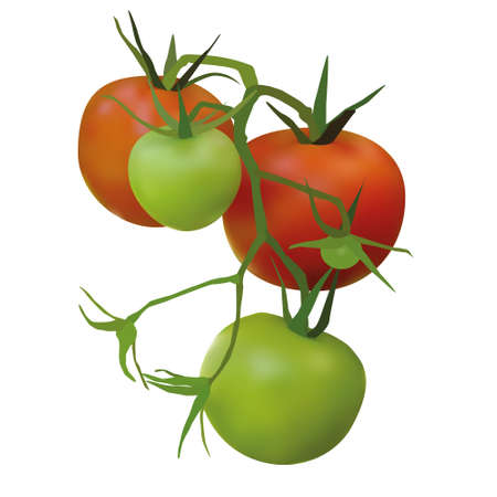 red and green tomatoes Vector