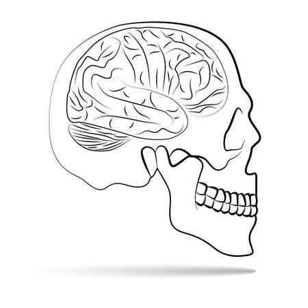 skull with brain Stock Vector - 18001223