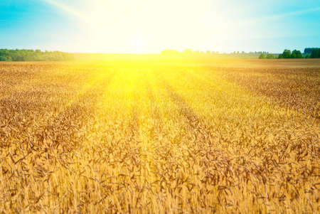 Autumn wheat field in shining sun beams photo