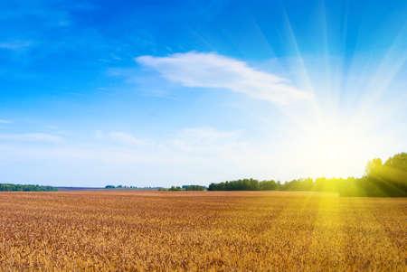 wheat harvest: Grande campo di grano in travi di una brillante luce del sole