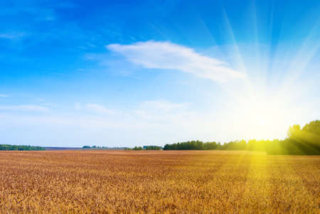 fond bl�: Wheat big field in beams of a bright sunlight Banque d'images