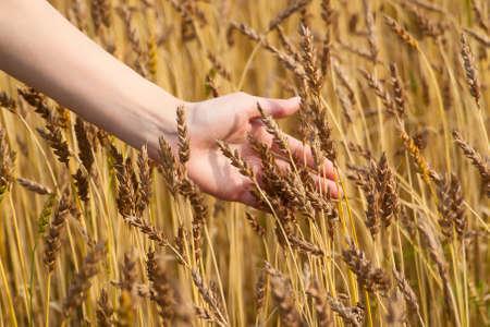 Womans hand slide threw the golden wheat field
