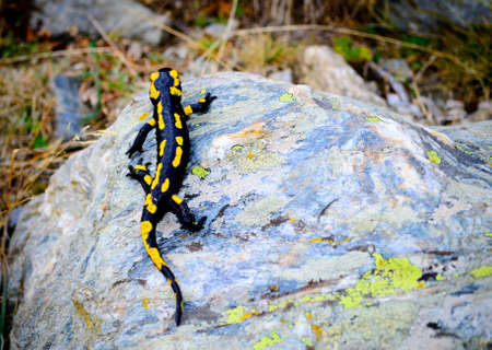 salamander: Salamander in the pyrenees