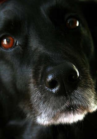 Extreme close up of black labrador Imagens