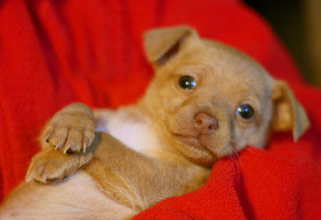 Chihuahua puppy close up cuddling with owner