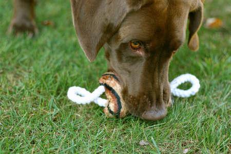 Chocolate labrador dog with chew toy Imagens