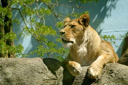 Female Lion on Rocks Imagens - 3096125