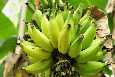 harvests: Banana of immaturity before it harvests Stock Photo