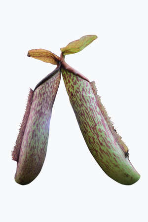 Nepenthes beautiful green