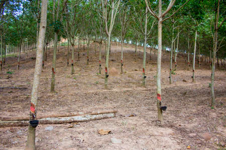 Rubber tree plantation in east of Thailand photo