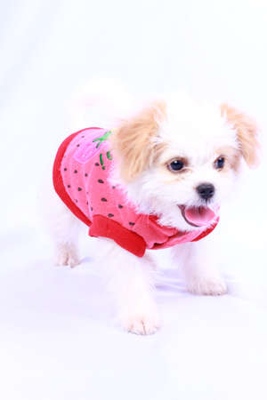 White poodle puppy wearing a red shirt. isolated on a white background . photo