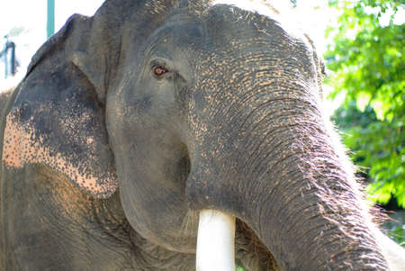elephant angry: elephant with beautiful tusks. Angry looking elephant with elegance pose