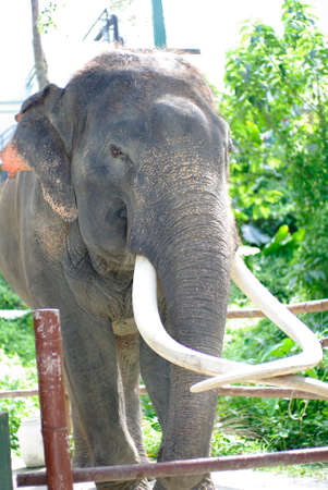 tusks: elephant with beautiful tusks. Angry looking elephant with elegance pose