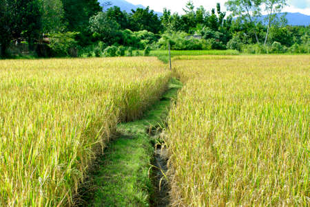 filed: rice filed and path way Stock Photo
