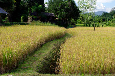 rice filed and path way photo
