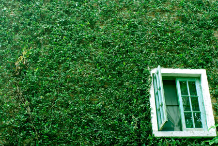 natural green climbing tree, plant wall with white window photo