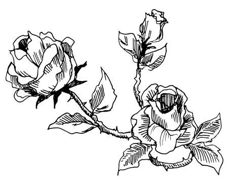 Roses vintage style drawing photo