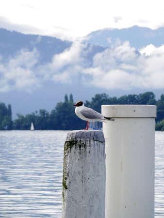 ridibundus: Gull on white pole at lake in switzerland