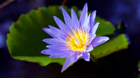 purple exotic lotus, water lily flower in the pond photo