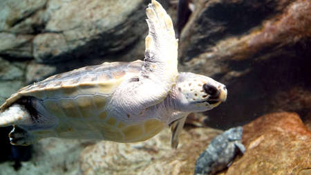 sea turtle swimming photo