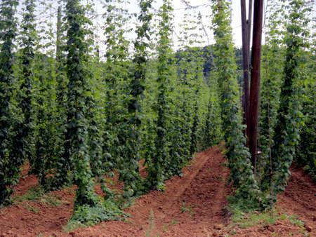 black pepper farm argicultural in Europe photo