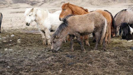 herd of Icelandic horses standing together in winter ourdoor meadow