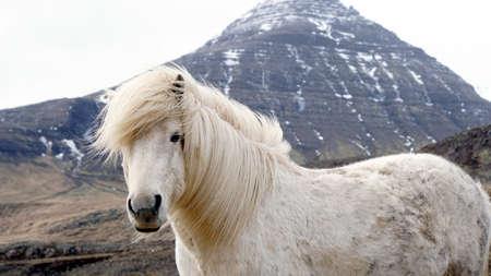 美しい白のアイスランドの馬の肖像画。馬 s マネの強い風から移動。