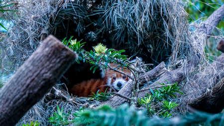 Red panda, lesser panda behind trees in tropic jungle Stock Photo