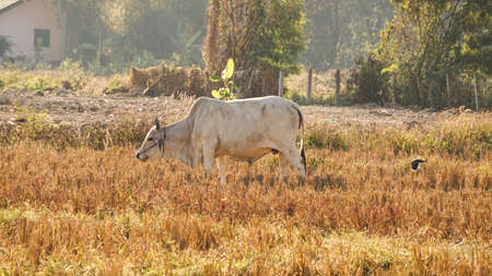 Southeast Asia white cow in filed in dry season
