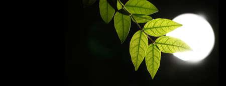 Translucent details of green leaves backlit with lighting night