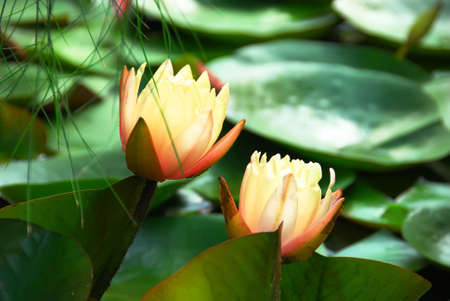 Shily brightly lit lily at lake surface Stock Photo - 3170046
