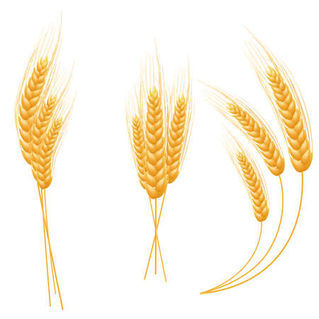 wheat illustration: Ripe Ears wheat set  Isolated detailed template  EPS10