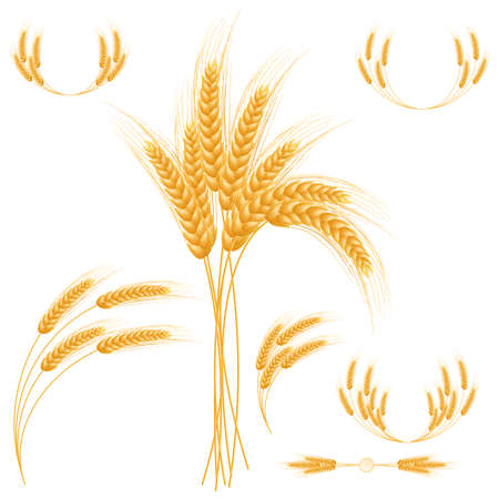 bran: Ripe Ears wheat set  Isolated detailed template  EPS10