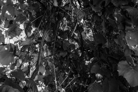 Black and white photographs, countryside view, grapes, leaves, flowerpot