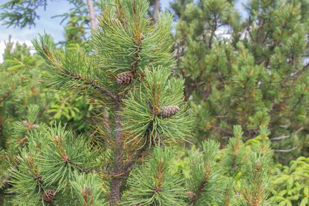 Cones grow on a Christmas tree close-up. Macro shot. Spines on a pine tree